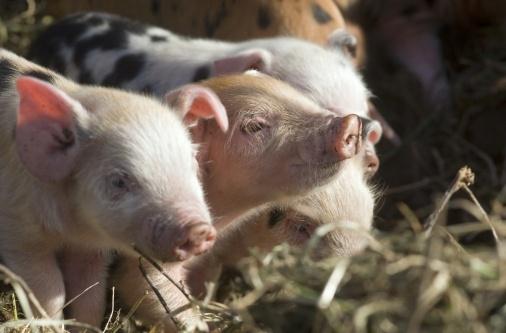 Cholderton Charlies Rare Breeds Farm